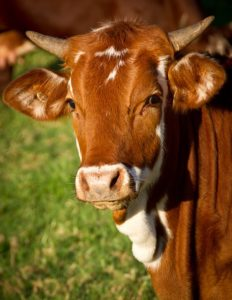 https://pixabay.com/en/cow-calf-cattle-stock-brown-white-425164/