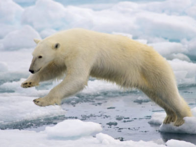 https://commons.wikimedia.org/wiki/File:Polar_Bear_AdF.jpg