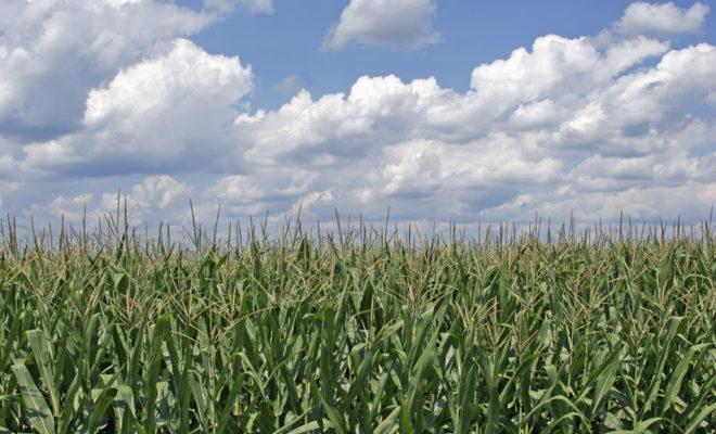 https://commons.wikimedia.org/wiki/File:Corn_field_ohio.jpg