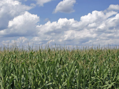 https://commons.wikimedia.org/wiki/File:Corn_field_ohio.jpg