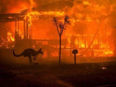 kangaroo wildfire Australia