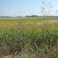 Researchers See Carbon Reduction Potential in Producing Bioenergy from Switchgrass