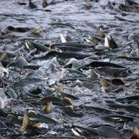 B.C. Regulator Imposes Independent Auditor After Coastal GasLink Imperils Prime Fish Habitats