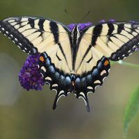 Decline in Western U.S. Butterflies Linked to Higher Temperatures